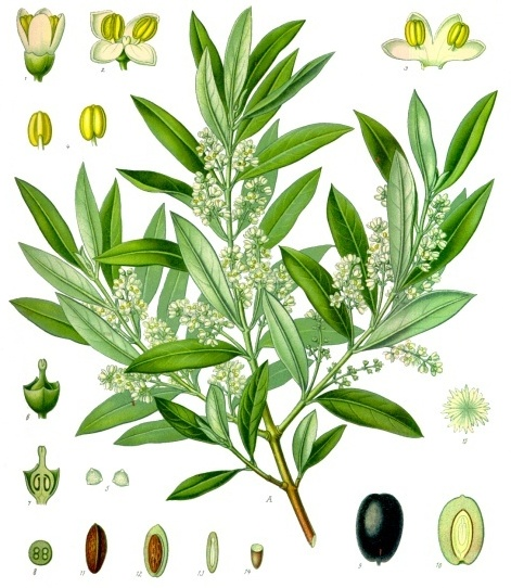 Why use olive leaf extract for a yeast infection