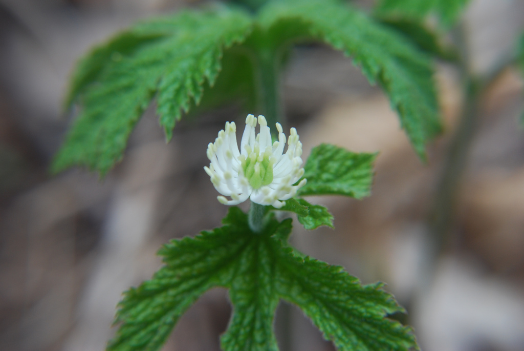 How to use goldenseal for yeast infection
