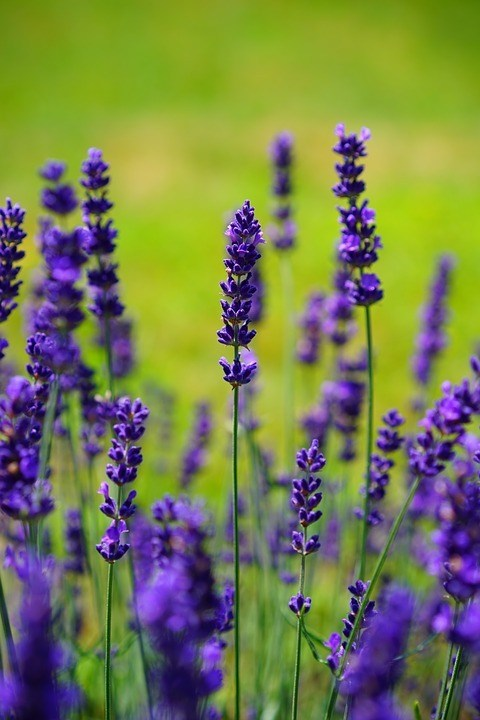 How to Use Lavender Oil for a Yeast Infection?