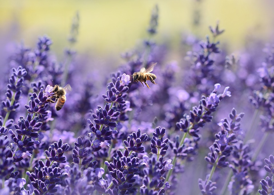 How to Use Lavender Oil for a Yeast Infection_