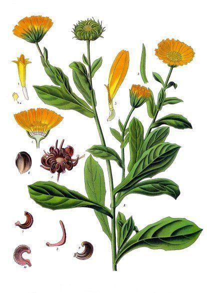 Is Calendula Antifungal?